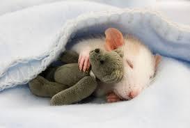 ratinho-fofo